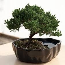 retirement gifts bonsai tree 2