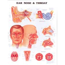Larynx Chart Anatomical Chart Ear Nose Throat