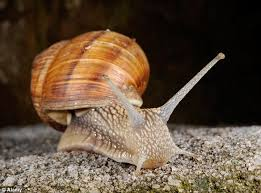 A Burgundy snail which cannot be farmed during its reproductive season between April   and June