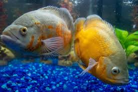 Cichlids Complete Guide African South American Dwarf And