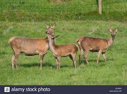 Red Deer at the Bowland Wild Boar Park, Chipping, Preston Stock Photo -  Alamy