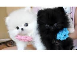 teacup pomeranian puppies for sale 250. Brilliant Sale Teacup Pomeranian For Sale In Kentucky Classifieds U0026 Buy And Sell   Americanlisted In Teacup Pomeranian Puppies For Sale 250 E