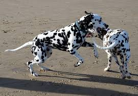 Keeping Your Dalmatian Healthy A Look At Diet Condition