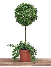 Amazon.com : Schubert Nursery Ivy Ball Topiary on a Stem in a 10 inch Pot :  Grocery & Gourmet Food