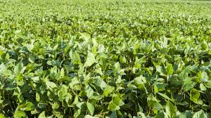 Soybean Growth Stages Soybean Research Information Network