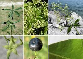 Rubia peregrina L. - Guida alla flora degli stagni temporanei della ...