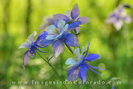 Colorado Wildflowers Images and Prints | Images from Colorado
