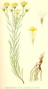 Galatella linosyris - Wikipedia