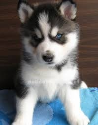 cute puppies for sale.  Sale Cute Siberian Husky Puppies For Sale On Puppies For Sale
