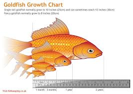 Fantail Goldfish Growth Chart Pretty Accurate Size Chart For Goldfish Goldfish Aquarium