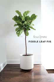 office planter. office planter boxes fiddle leaf fig im going to place one in the living room area p