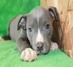 blue nose pitbull puppies. Plain Blue Bluepit_7 To Blue Nose Pitbull Puppies L