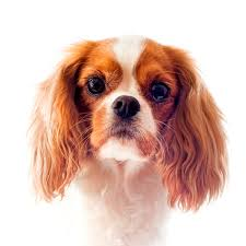 cavaliers dogs. Beautiful Cavaliers Cavalier King Charles Spaniel With Cavaliers Dogs G