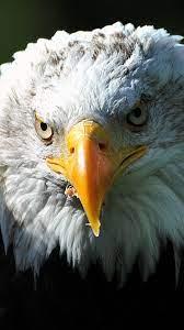 Desktop Wallpapers Bald Eagle bird Hawk ...
