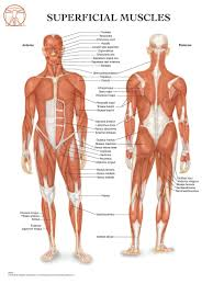 Fascia Chart Anatomy Of The Muscular System Anatomical Wall Chart