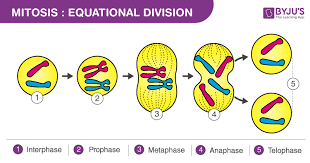 What Is Mitosis Definition Diagram And Stages Of Mitosis