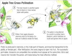 Fruit Tree Pollination Chart Pollinating Fruit Trees Cookingvideos Co