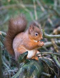 Rodents Lower Classifications Red Squirrel Rodent Britannica