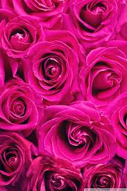 beautiful flower wallpaper of rose