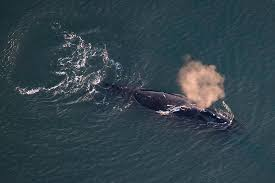 Alaskas Big Whale Mystery Where Are The Bowheads