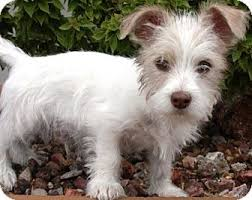 wire haired terrier mix. Beautiful Wire With Wire Haired Terrier Mix