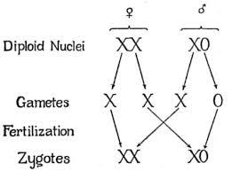 X0 Sex Determination System Wikipedia