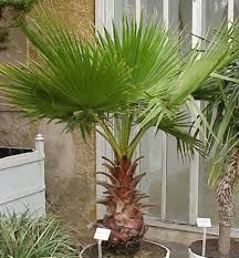 fan palm trees. like this item? fan palm trees