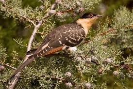 cuckoos don t sneak into other birds nests they barge right in cuckoos don t sneak into other birds nests they barge right in smart news smithsonian