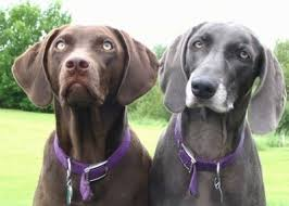 close up upper body shots a chocolate and a graying black labmaraner are sitting in