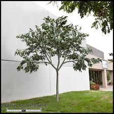 custom fake ficus tree to enlarge