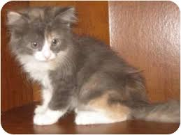 dilute calico kittens for sale. Simple Sale Meet Angora Kittens A Cat For Adoption Throughout Dilute Calico For Sale 0