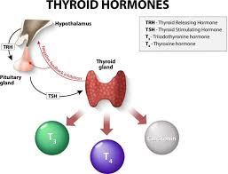 Thyroid Conversion Chart Central Drugs Thyroid Gland And Thyroid Hormones Mydr Com Au