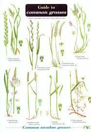Grass Identification Chart Uk Field Guide To Common Grasses Laminated Identification Chart