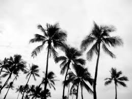 15 Black and White Palm Tree Pictures Images Black And White Pictures