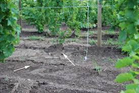 Vine Spacing Chart Year Of Planting Vineyard Design And Layout Lake Erie