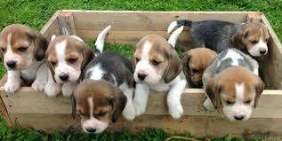 beagle puppies. Plain Beagle Researchers Report That The First Dogs Born By IVF Have Arrivedbut What  Took So Long To Beagle Puppies T