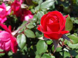 free stock photo of red rose flower