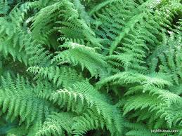 Image result for hay scented ferns