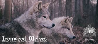ironwood wolves is a small usda licensed educational facility that is curly home to four ambador wolves and three red fo outside of the columbus