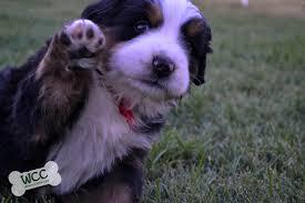 hi hi we are a bernese mountain dog breeder