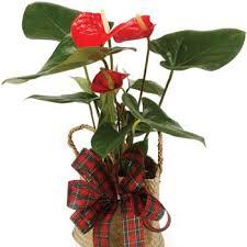 anthurium pot plant