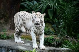 white tiger. Simple Tiger Intended White Tiger G