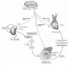 Blood Pressure Diagram A Schematic Diagram Of The Blood Pressure Regulation System