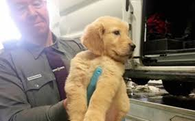 Animal Cop Police Rescue 104 Puppies From Car Crash Site Good News