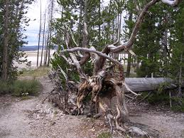 Image result for uprooted trees