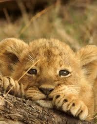 """Résultat de recherche d'images pour """"image de bebe lion"""""""