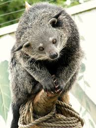 Small Picture Binturong The binturong Arctictis binturong also known as
