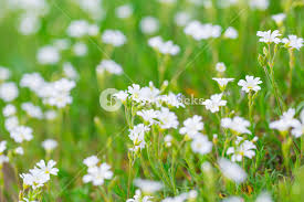 Grass and flowers background Artwork Blooming White Flowers Of Chickweed In Green Grass Nature Springtime Flowers Background Storyblocks Blooming White Flowers Of Chickweed In Green Grass Nature