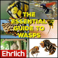 Wasp Identification Chart The Essential Guide To Wasps Ehrlichs Debugged Blog