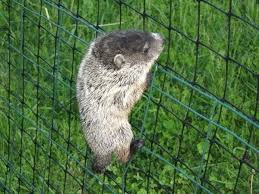 how to keep groundhogs out of my garden. How Do I Keep Rabbits Out Of My Garden Protect From Wildlife . To Groundhogs S